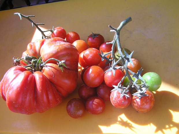 late summer tomatoes in Umbria