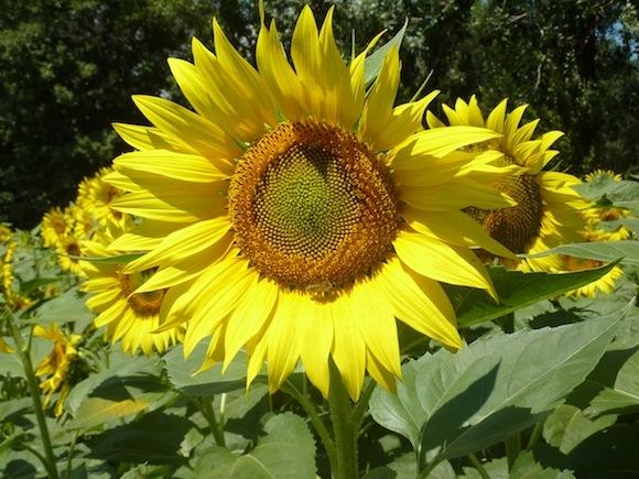 Umbria sunflowers