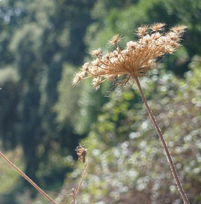 summer weeds in Umbria
