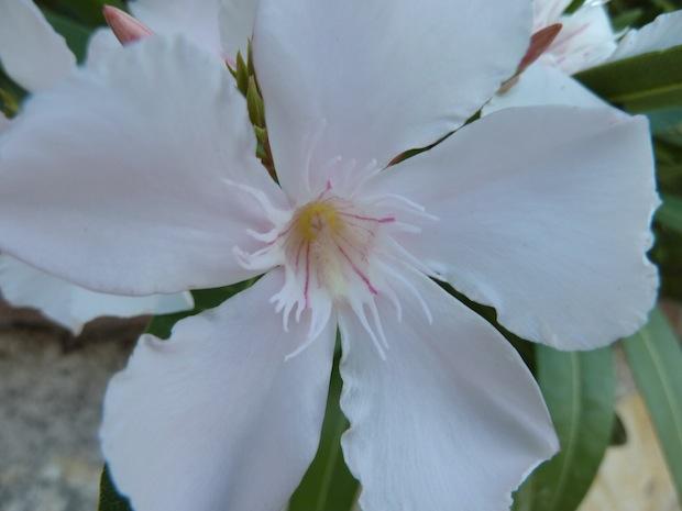delicate oleanders at Genius Loci Bevagna Umbria