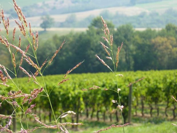 view of Sagrantino vineyard at Genius Loci Umbria