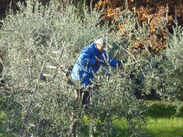 winter olive tree pruning at Genius Loci Umbria