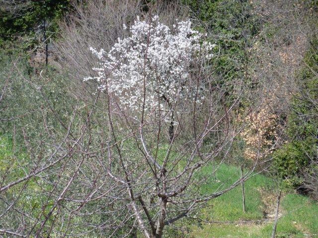 Umbria almond tree