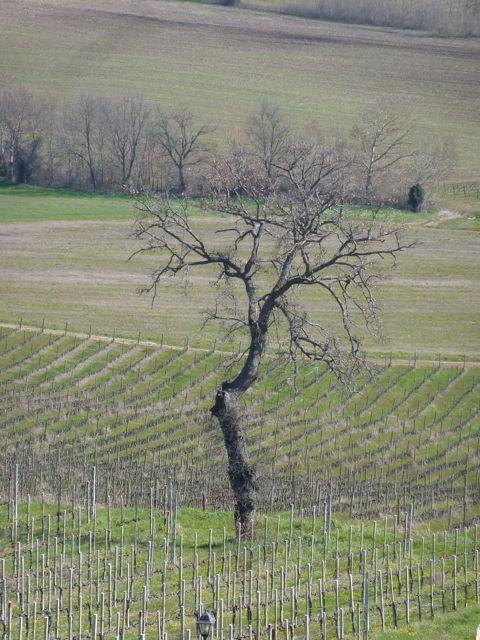 Umbrian oak tree at Genius Loci Umbria