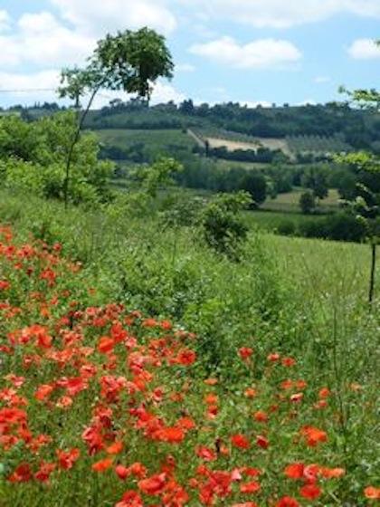 Umbria poppies