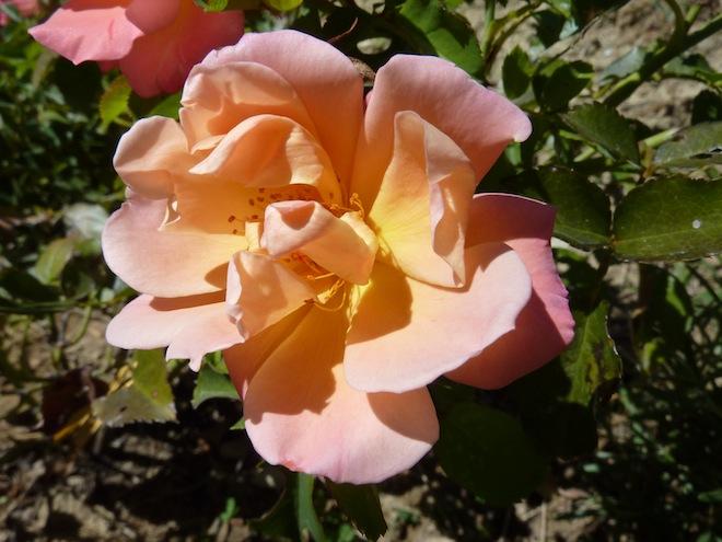 roses at Genius Loci Umbria