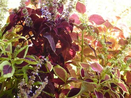 coleus flowers Genius Loci Umbria