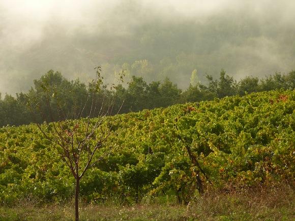 Sagrantino vineyards in the mist in Montefalco