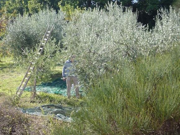 harvesting olives for Premium olive oil