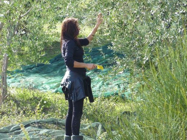 harvesting olives in Umbria