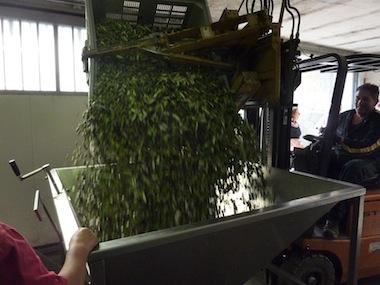 olive oil making