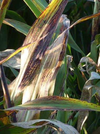 fields of corn in umbria