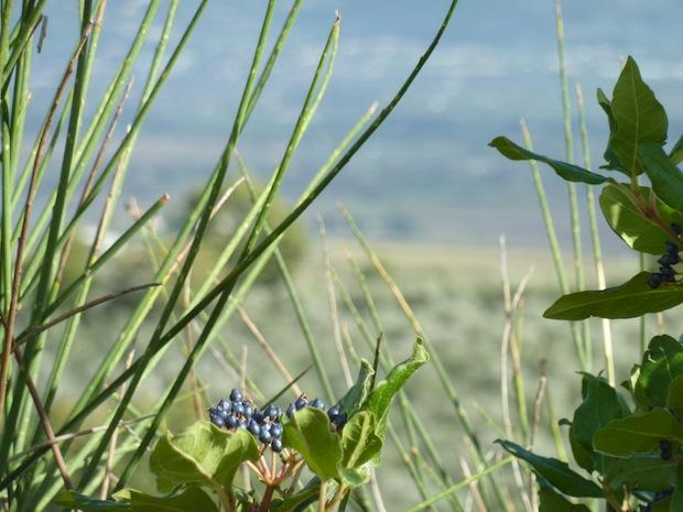 wild berries in Umbria