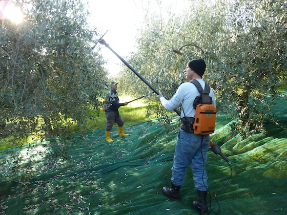 Umbria olive harvest