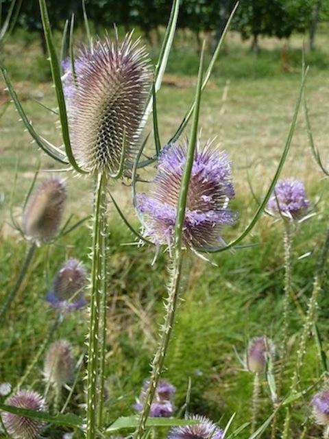 beautiful summer weeds in Umbria