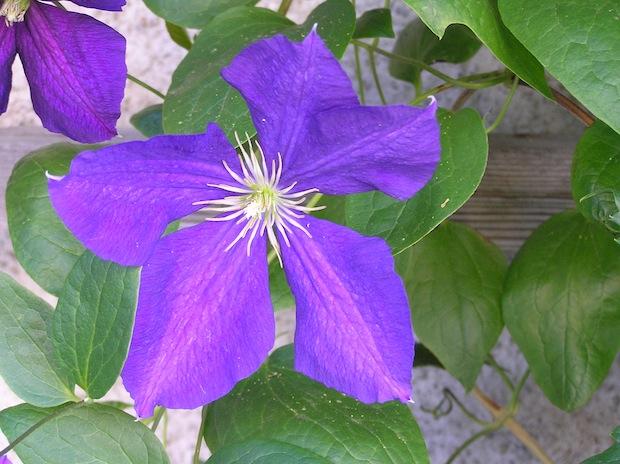 delicate stamens of a purple flower