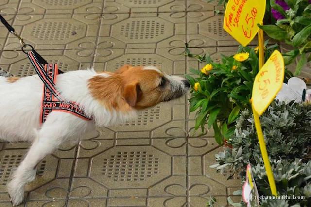 dog-smelling-flowers-mercato-albinelli-modena